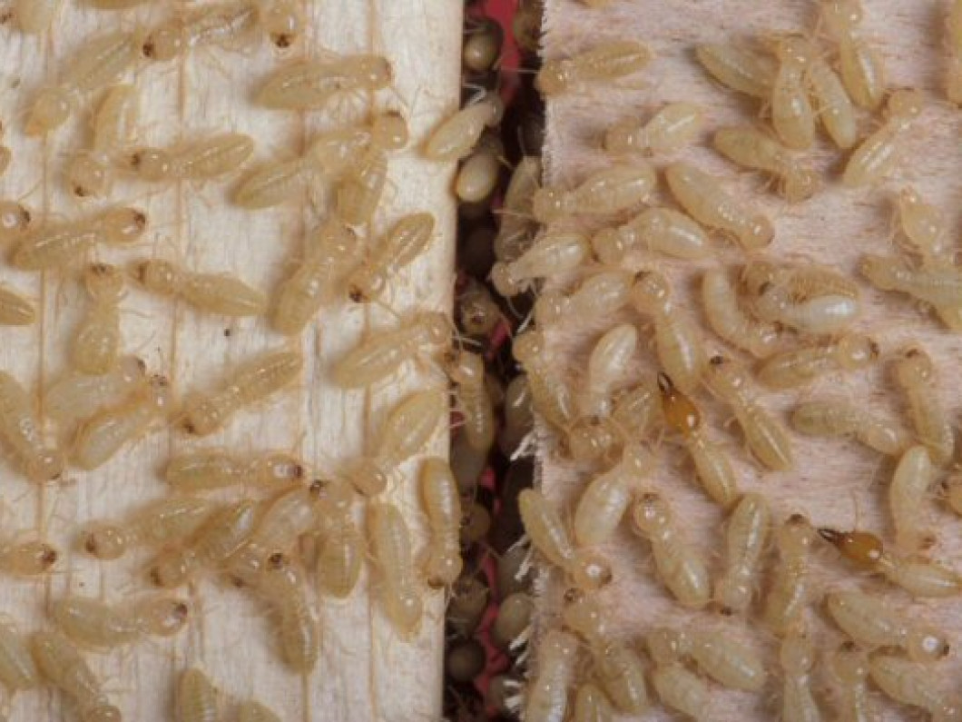 Termite Control in  Woodstock, GA and surrounding areas including Atlanta and Kennesaw